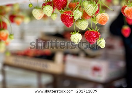 Strawberries hanging in a greenhouse in Breda, Netherlands, while people are picking, harvesting them, people out of focus and room for copyspace - stock photo