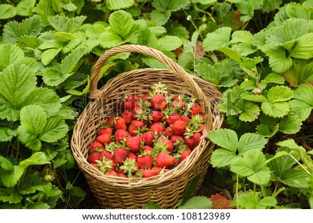 Strawberries in a basket in the garden outdoors