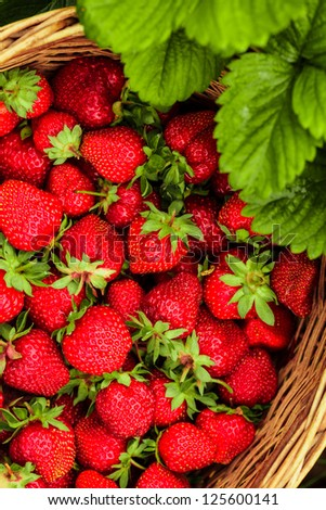 Strawberries in a basket in the garden outdoors - stock photo