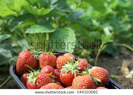 Strawberries in a bowl / strawberry