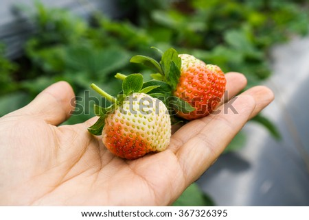 strawberries in  hand background - stock photo