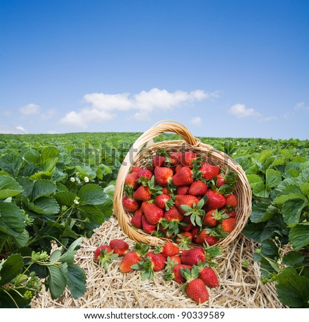 Strawberries in the basket on the field - stock photo
