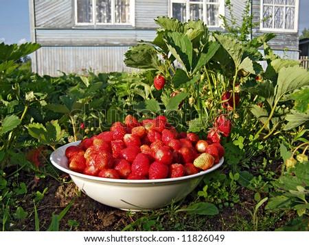 strawberries in vegetable garden - stock photo