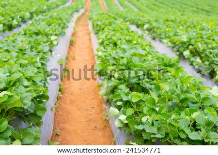 Strawberries is growing in a garden. - stock photo