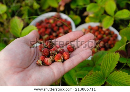 strawberries lying on the palm on the background of green grass - stock photo