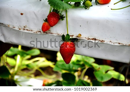 strawberries ripening in white plastic of a modern nursery