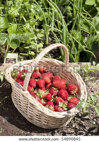 Strawberry basket against garden rows with herbs
