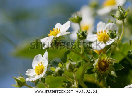 Strawberry blossoms in the garden