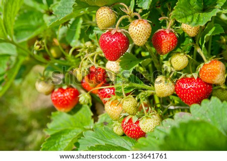 Strawberry bush growing in the garden