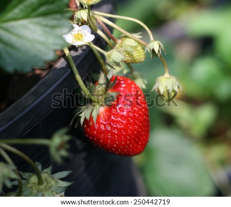 Strawberry bush growing in the garden - stock photo