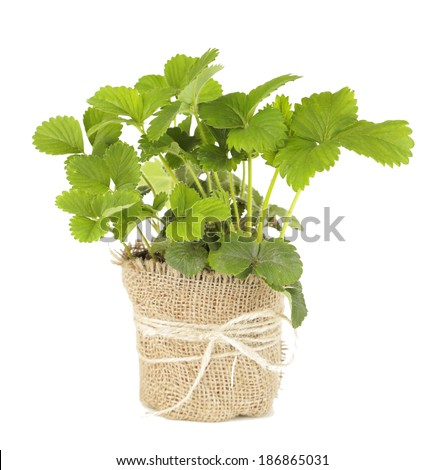 Strawberry bush in pot isolated on white - stock photo