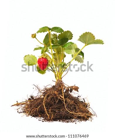 strawberry bush on a white background - stock photo
