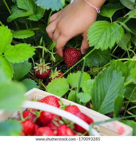 Strawberry - child picking fresh strawberries in the garden - stock photo