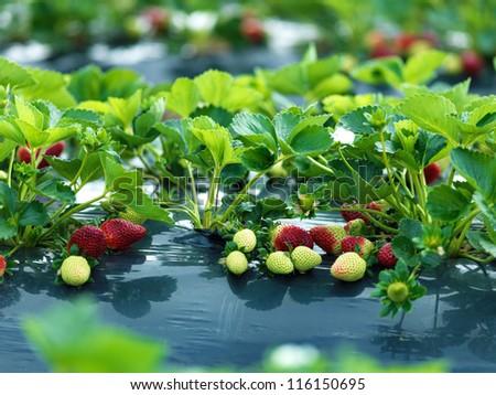 strawberry farm - stock photo