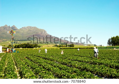 Strawberry field full of scarecrows with a colourful windmill in the field - stock photo