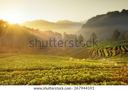 Strawberry Field in North of Thailand - stock photo