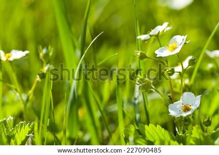 strawberry flower in green grass field - stock photo