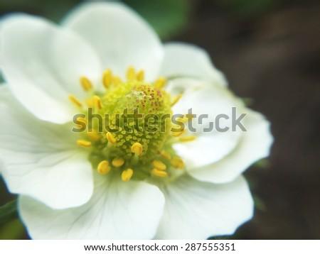 strawberry flower macro - stock photo