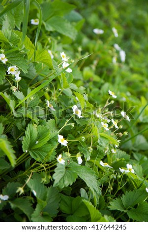 Strawberry flowers blooming during the spring time. - stock photo