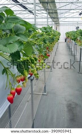 Strawberry fruit in nursery plantation at japan - stock photo