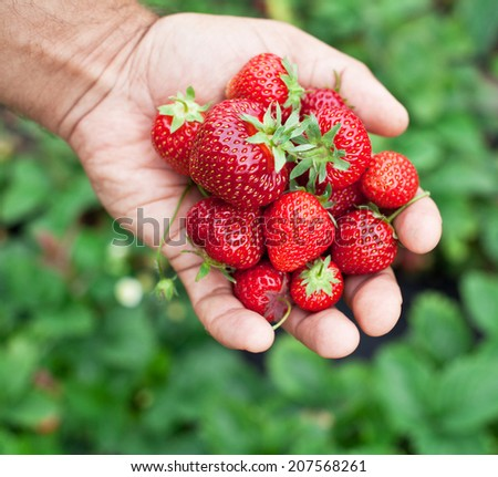 Strawberry fruits in a man's hands. Green leaves on the background.