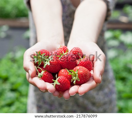 Strawberry fruits in a woman's hands. Green leaves on the background.