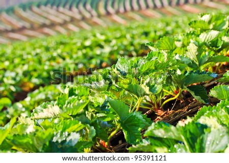 Strawberry Garden Gallery thailand - stock photo