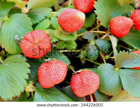 Strawberry growing in pots.  - stock photo