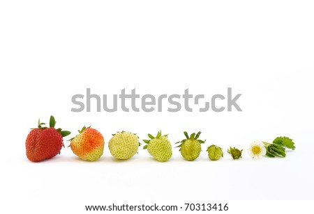 Strawberry growth isolated on white - concept - stock photo