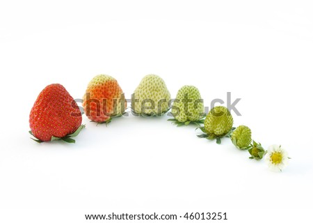 Strawberry growth isolated on white - evolution concept - stock photo
