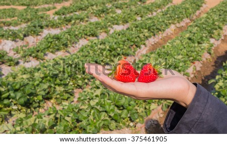 strawberry in a hand with blurred strawberry field background - stock photo