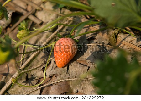 strawberry in an agriculture