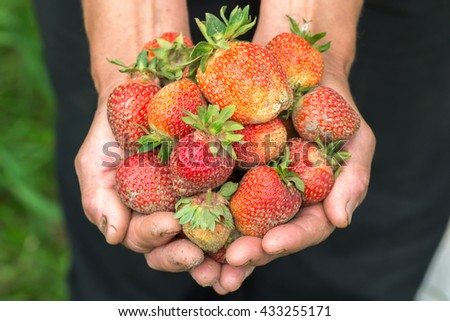 Strawberry in hand. Hands gardener. Work-worn hands. Farmers hands with freshly strawberry.