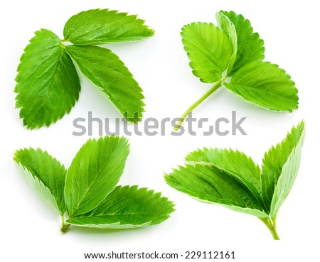Strawberry leaf isolated on white background. Collection - stock photo