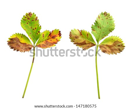 Strawberry leaf with the fungal disease, leaf scorch caused by Diplocarpon earlianum - stock photo