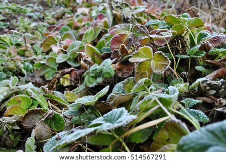 Strawberry leafs covered with rime frost