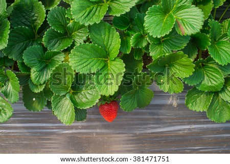 Strawberry leaves - stock photo