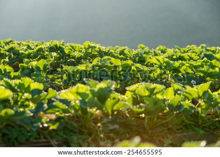 Strawberry leaves fresh  in the garden. - stock photo