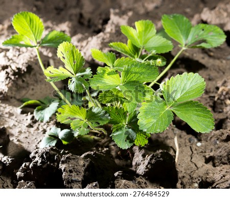 strawberry leaves in the ground