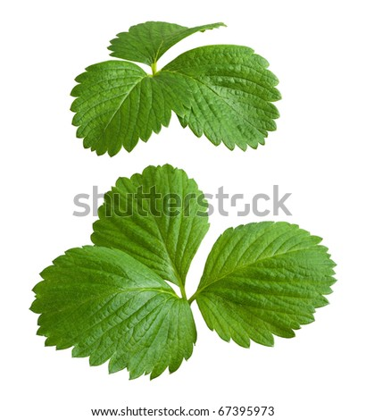 Strawberry Leaves isolated on a white background - stock photo