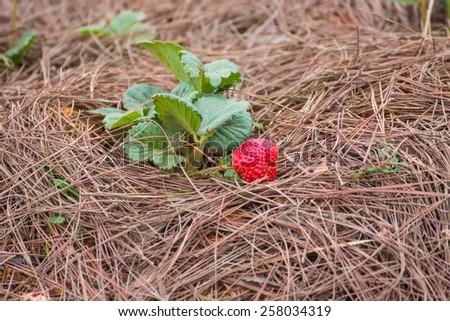 strawberry on straw background - stock photo