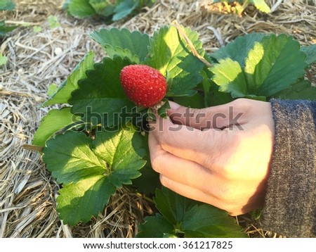 Strawberry on the field, hand picking fresh strawberry fruit in the sunlight - stock photo