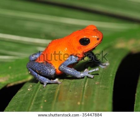 strawberry or blue jeans dart frog on green palm frond , drake bay, costa rica - stock photo