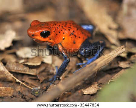 strawberry or blue jeans dart frog on jungle floor, selva verde, sarapiqui ,costa rica. exotic vibrant colorful red blue poisonous deadly amphibian in tropical jungle setting - stock photo