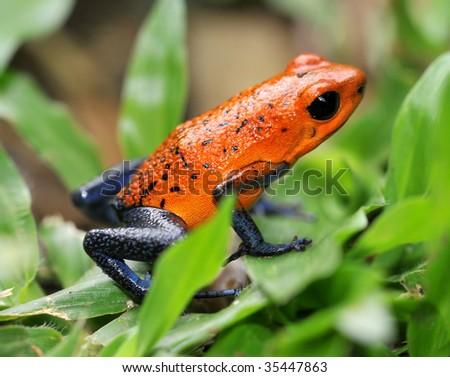 strawberry or blue jeans poison dart frog in green grass , selva verde, sarapiqui, costa rica, deadly colorful toxic exotic amphibian on tropical jungle floor - stock photo