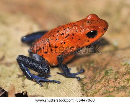 strawberry or blue jeans poison dart frog on brown leaf ,selva verde, sarapiqui, costa rica, latin america. exotic red multicolored poisonous amphibian on tropical rainforest floor - stock photo