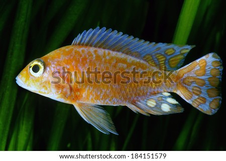 Strawberry Peacock (Aulonocara) African Malawi Cichlid in aquarium. - stock photo