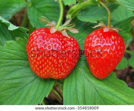 Strawberry plant 2 - stock photo