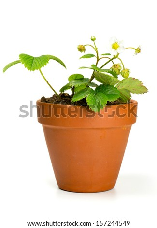 strawberry plant in a clay pot isolated on white - stock photo