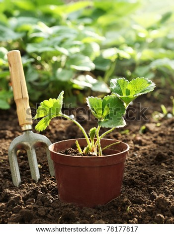 Strawberry plant in pot - stock photo